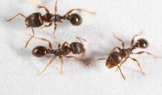 8 būdai, kaip natūraliomis priemonėmis atsikratyti skruzdžių namuose