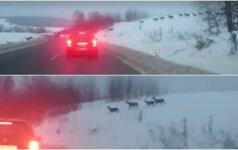 Plinta internete: nufilmuota žvėrių migracija per kelią