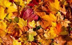Margi rudens lapai – ne tik gražu, bet ir naudinga