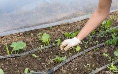 Agronomas pataria: pirmieji pavasario darbai – nuo ko pradėti?