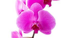 Orchidėjų ligos: kaip jų išvengti