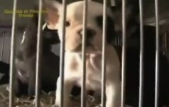Operacija buldogas: policija išgelbėjo 200 šunyčių