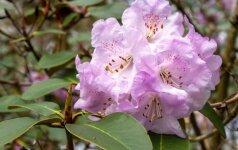 Rododendrų žydėjimo metas: kaip juos prižiūrėti?