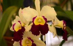 Specialiai iš Tailando: įspūdžiai iš orchidėjų parodos (VIRŠ 70 FOTO)