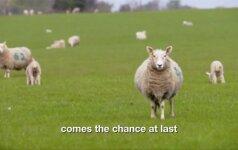 Sulėtintame aštuonių valandų filme – šimtai romių avių