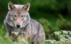 Pagaliau suskaičiuoti Lietuvoje gyvenantys vilkai