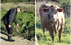 Vietoj elnio pamiškėje pašovė karvę
