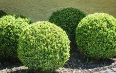 Kokiu atstumu galima sodinti medžius ir krūmus?