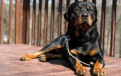 Daugiabučiuose bus uždrausta laikyti kovinius ir pavojingus šunis?