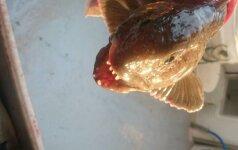 Lietuvio laimikiai gąsdina ir pačius žvejus