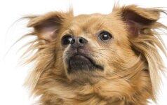 10 šunų veislių nenorintiems chaoso namuose