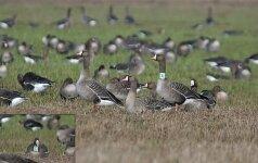 Nauji paukščių ženklinimo vėjai