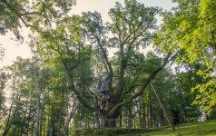 Dėl Europos medžio titulo rungsis ir Stelmužės ąžuolas