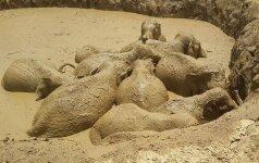 Kambodžoje išgelbėta 11 laukinių dramblių