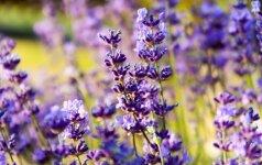 Levandų aromatas gali ilgai priminti vasarą arba kodėl jas verta džiovinti
