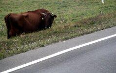 Šiaulių rajone du vyrai karvei sulaužė priekines kojas