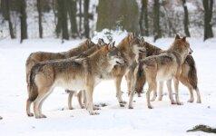 Švedijoje vilkų gauja sudraskė moterį