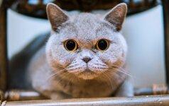 """Kačių veisėja Solana: """"Britų trumpaplaukės katės – arba tobulai geros, arba tobulai blogos"""""""