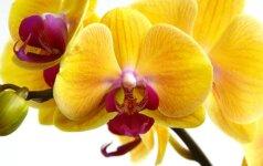 Kaip greitai atgaivinti orchidėją