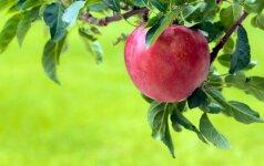 Blogos naujienos obuolių augintojams
