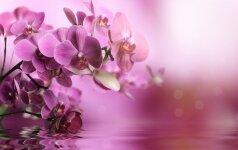 Orchidėjų priežiūra: ką verta žinoti