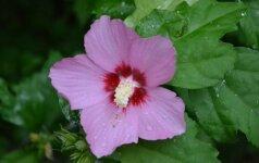 Augalas, kuris džiugina stambiais ir puošniais žiedais