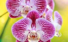 Horoskopas orchidėjų mylėtojams