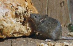 Humaniškiausi būdai, kaip atsikratyti pelių