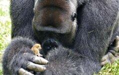 Dydis nesvarbu: milžiniška gorila susirado patį mažiausią draugą