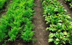 Daržų dienos proga – patarimai, ką veikti darže gegužės mėnesį