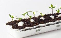 Daržovių derliaus didinimui: sėklų šildymas ir mirkymas