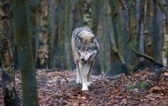 Ūkininkai perpykę: vilkai pjauna gyvulius, o sprendimo nėra