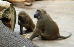 Lietuvė nufilmavo neįtikėtiną beždžionės elgesį