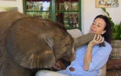 Mielas išdykėlis: drambliukas nesitraukia nuo jį išgelbėjusios moters ir jaukia jos namus