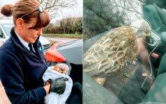 Vyras sustojo padėti sužeistam paukščiui: atsigavęs gyvūnas elgėsi nedėkingai
