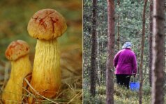 Puiki žinia grybautojams: Lietuvoje plinta nauja vertingų grybų rūšis