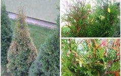 Kaip išlaikyti gražias tujas: sodinimo sąlygos ir dažniausios problemos