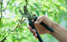Dažniausios klaidos, kurias darome genėdami obelis