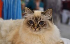 Kačių mylėtojų laukia turiningas savaitgalis: pažiūrėkite, kokios gražuolės bus parodoje