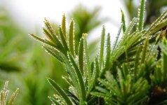Kukmedžių sodinimas: 7 žingsnių sodinimo instrukcija
