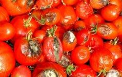 Pomidorų ligos ir kaip jų išvengti