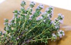 Prieskoniniai augalai (3). Čiobrelio auginimas ir panaudojimas buityje