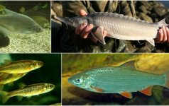 Žuvys, kurių skonį jau seniai pamiršome: kokių žuvų daugiau neberagausime?