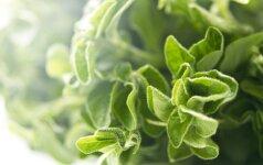 Prieskoniniai augalai (2). Mairūno auginimas ir panaudojimas buityje