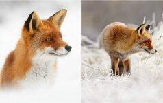 Tiems, kam trūksta sniego: pasigrožėkite, kaip juo Olandijoje džiaugiasi lapės