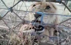 Iš sugriuvusio Sirijos Alepo miesto zoologijos sodo išgelbėjo plėšrius gyvūnus