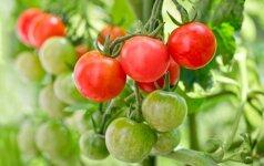 Kaip laistyti ir tręšti pomidorus