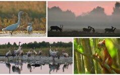 Gamtos dienoraštis: į gaivališką ekstazę panirę elniai