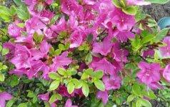 Rododendrų pasaulyje: kaip prižiūrėti naujas rūšis ir veisles