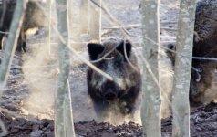 Dėl kiaulių maro bus skelbiama ekstremali situacija